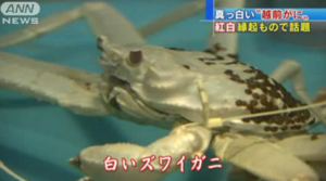 Un crabe blanc jamais vu au Japon