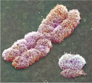 Les deux chromosomes sexuels humain : le grand X et le petit Y.