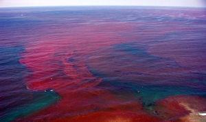 Algues rouges dans la mer