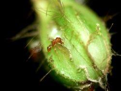 Identification d'un mécanisme de sanction entre des fourmis et leurs plantes hôtes Fourmi