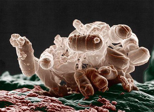 Les microbes intestinaux dirigent aussi l'évolution des espèces