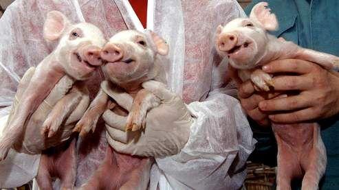 Cochons clonés