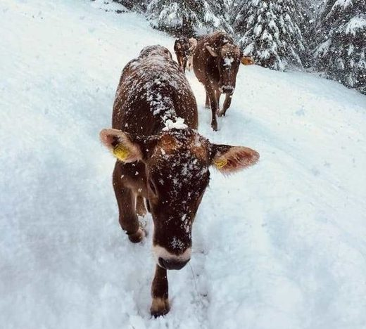 vaches, neige, Italie