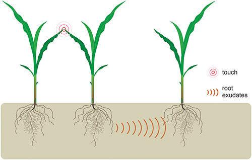 interactions semis de maïs