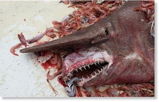 Goblin_shark.jpg